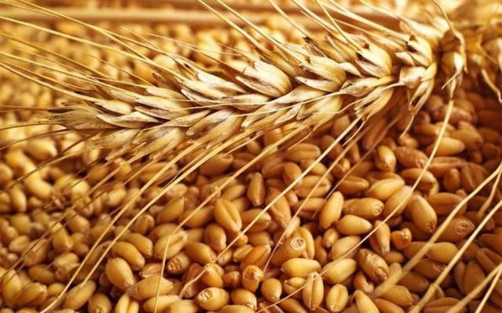 Animal Wheat Feed & Wheat for human consumption