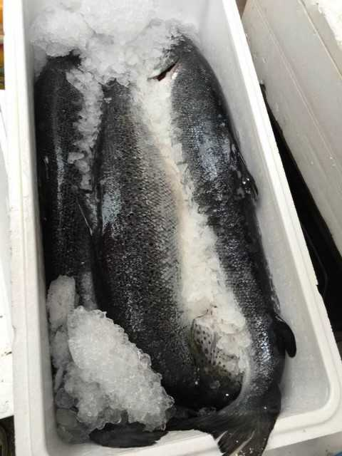Frozen Salmon Fish, Atlantic Salmon Fish
