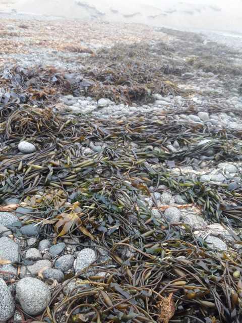 Seaweed macrocystis integrifolia pyrifera
