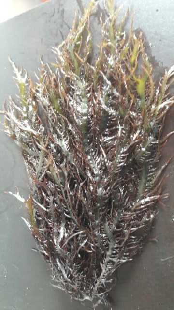Seaweed gigartina chamissoi Dried