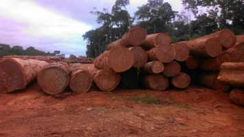 AZOBE (EKKI) ROUND LOGS FROM CAMEROON.  100% DLC PAID AT LOADING PORT